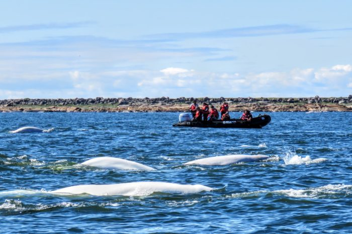 Belugas and Bears of Churchill ~July 2022