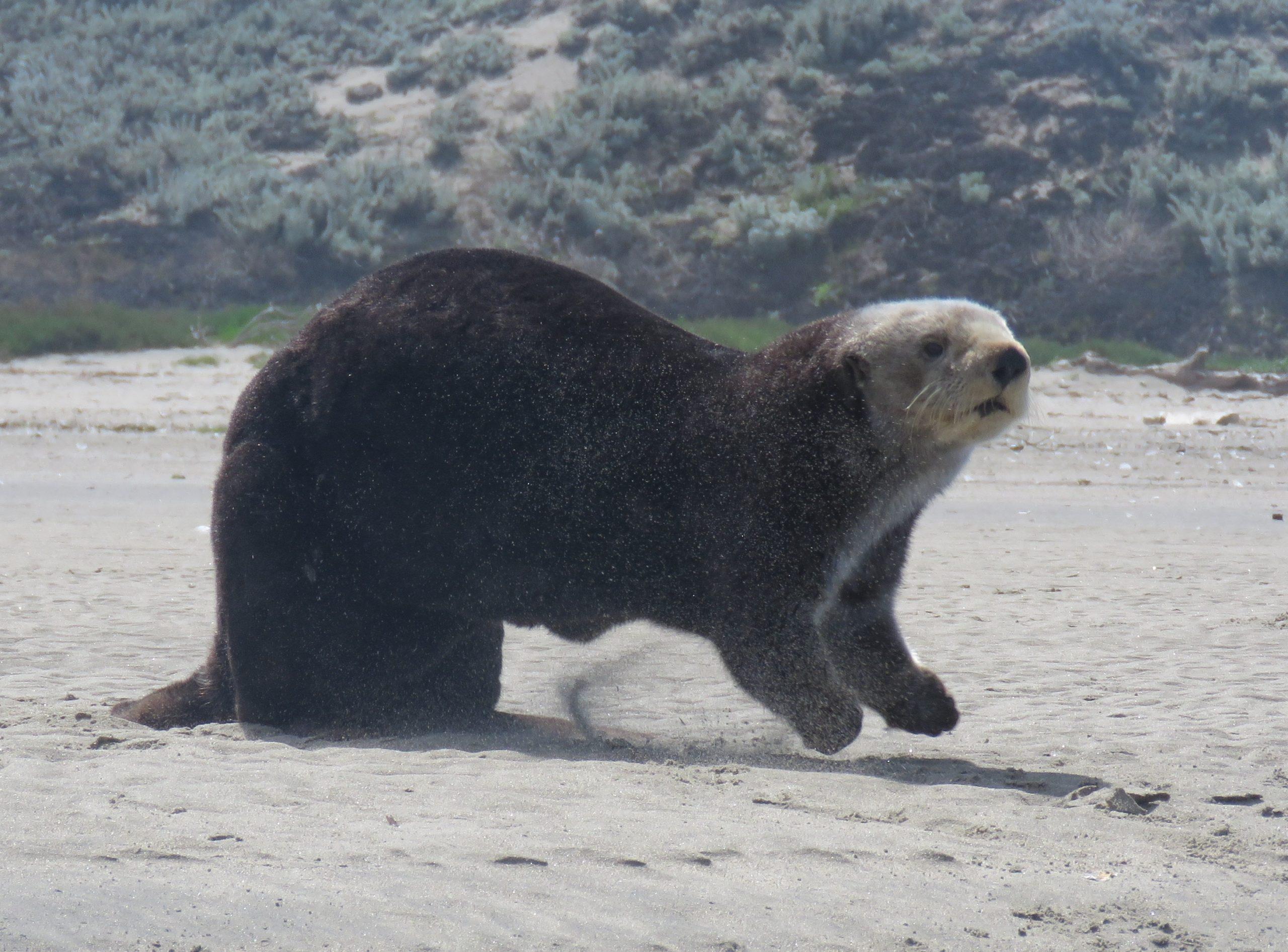 Seals & Sea Otter Pupping Season by Kayak: Elkhorn Slough
