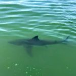 Great White Shark Tour - Blue Water Ventures