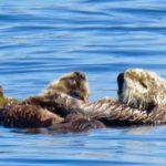 baby otters Elkhorn Slough - Blue Water Ventures